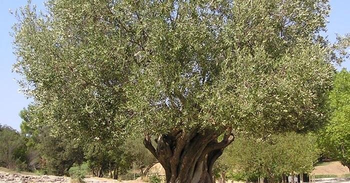 Alberti d'ulivo tagliati: al via le indagini