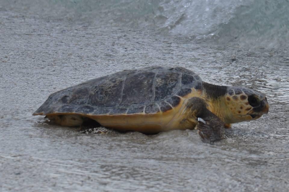 """""""Tartaday"""", a San Leone sarà liberata una Tartaruga marina"""